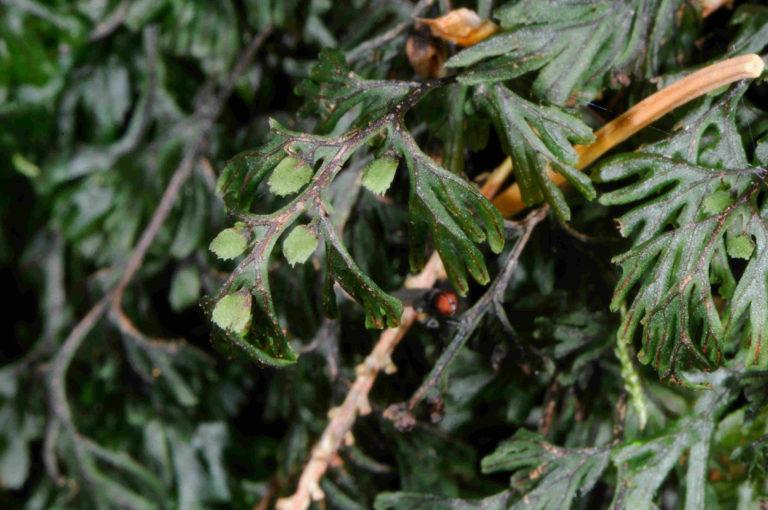 Hymenophyllum de Tunbridge (Hymenophyllum tunbrigense) (c) F. Warnet