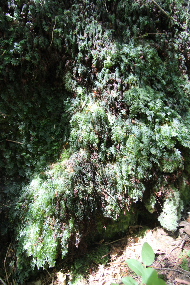 Hymenophyllum de Tunbridge (Hymenophyllum tunbrigense) (c) R. François